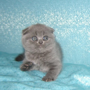 Scottish fold котята
